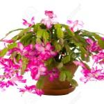 8050384-Christmas-Cactus-Stock-Photo