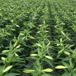easter crop