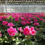 geranium crop