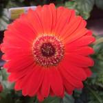 gerbera daisy bloom