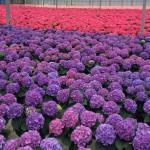 hydrangea crop 2016