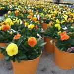 orange pansy color pot