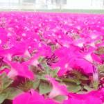 petunia crop shot