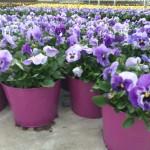 purple pansy color pot