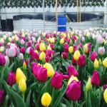 tulip shot