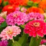 Colorful Garden Zinnias