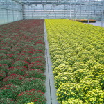 Mums Burgundy and Gold Greenhouse pic