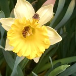 daff with bees
